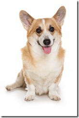 Corgi dog on white background
